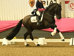 Deseado at Keysoe CDI with gold medal cantering website